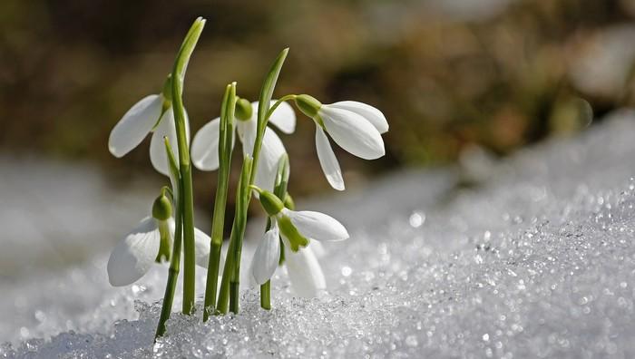 práce v záhrade kvitnú snežienky