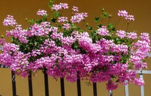 muškáty pravidlá výsevu a pestovania