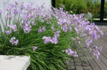 cesnaková tráva
