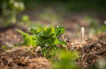 mulčovanie pôdy - dôvody a tipy