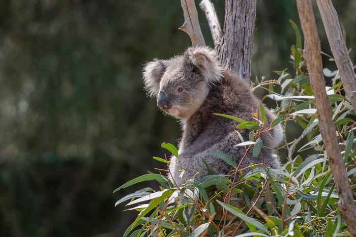 eukalyptus koala
