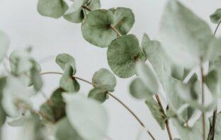eukalyptus rastlina