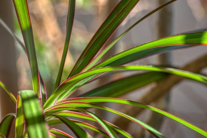 rastlina dracena svokrin jazyk