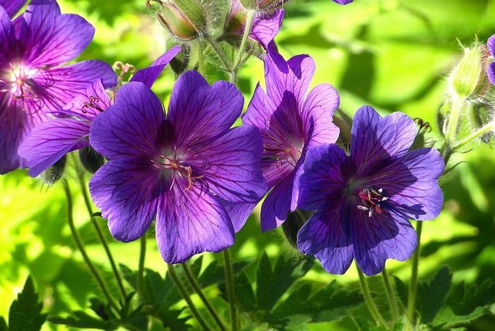 geranium rastlina