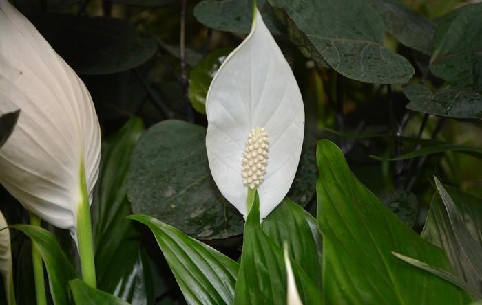 rastlina lopatkovec