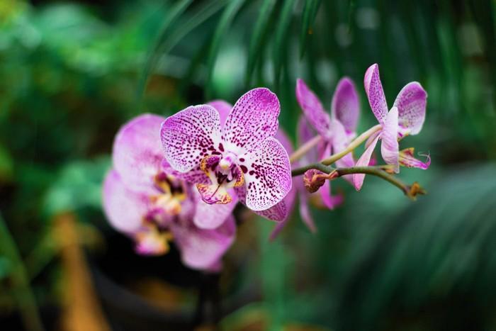 rastlina orchidea