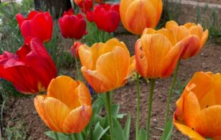tulipány jarné cibuľoviny