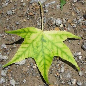 chloróza keď rastliny žltnú