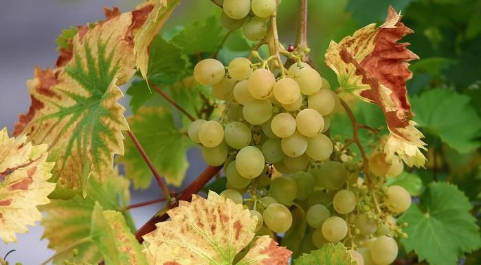 vinič s nedostatkom horčíka