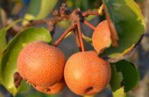 ovocie naši nashi ázijská hruška