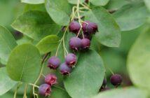 muchovník okrasný krík chutné plody